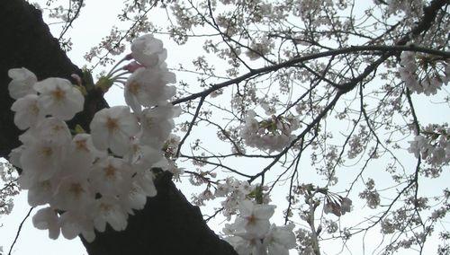 sakura001.JPG